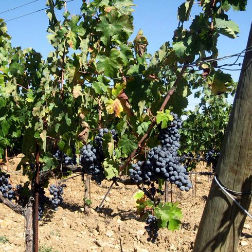 vigne-grappe