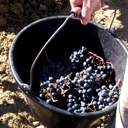 vigne-vendange